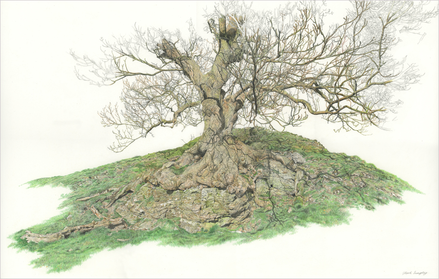 'Pilsbury Castle Tree' - Original colour pencil and pencil drawing by Mark Langley Fine Artist - 66 x 42 cm.